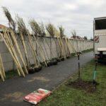 Drzewa przygotowane do nasadzeń w Kunowicach.